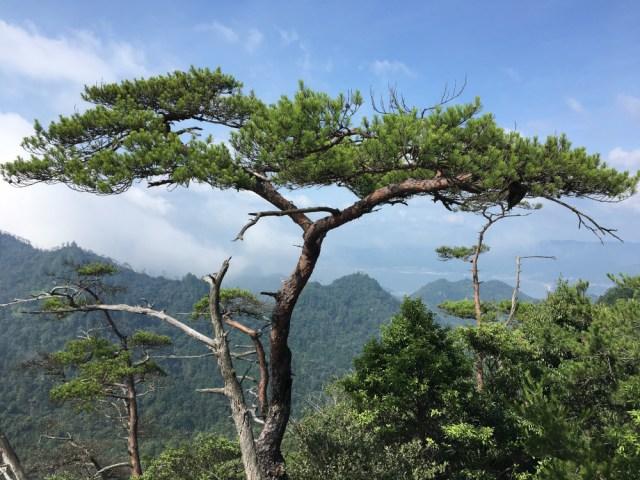 Tree on the side of Mt Misen on Miyajima Island