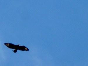 Black Eagle nesting material