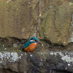 Kingfisher perched on stone wall