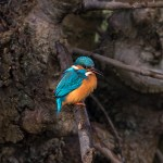 Kingfisher on a tree branch
