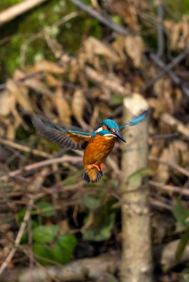 Kingfisher caught mid-flight wings open