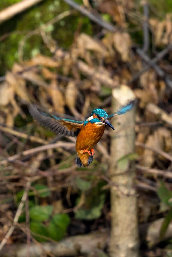 Kingfisher caught mid-flight wings open