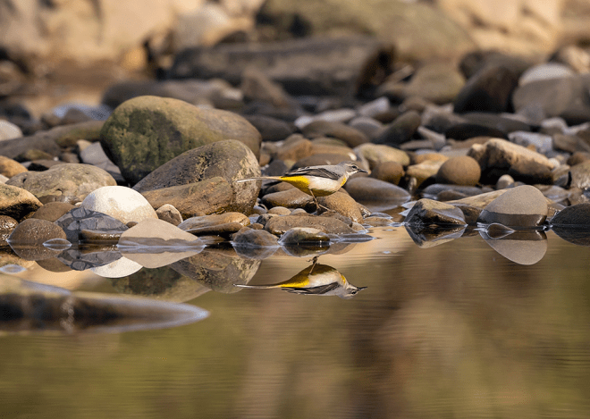 Grey wagtail reflected in pool of water