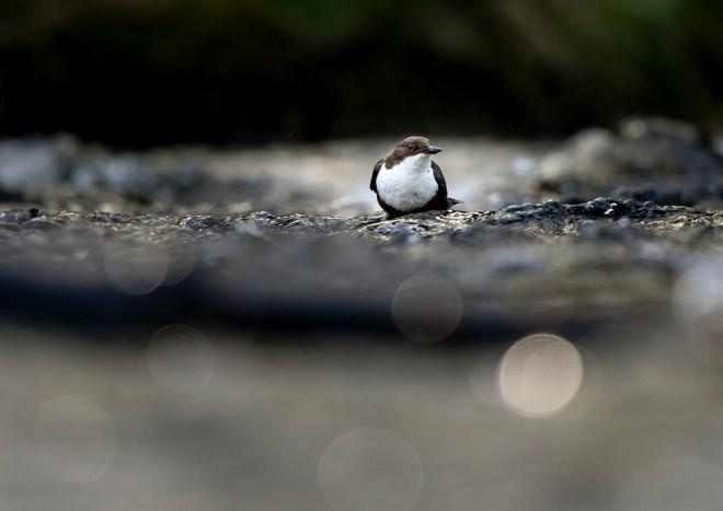 Dipper Fledgling