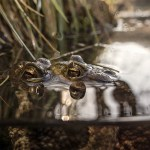 Mating toads by edge of the pond