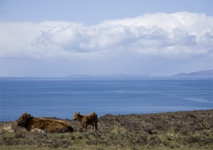 Cow and calf near waternish point, Skye