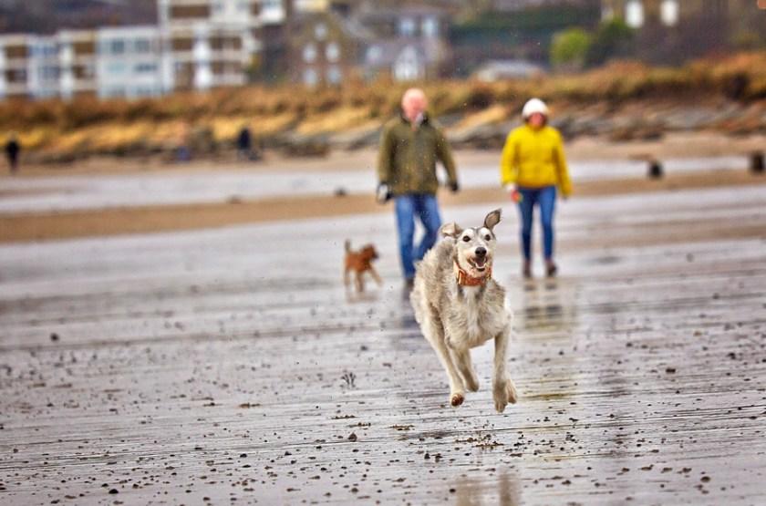 Pet dog Alfie running on the beach