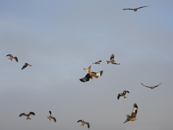 Red Kites in flight in the Brecon Beacons