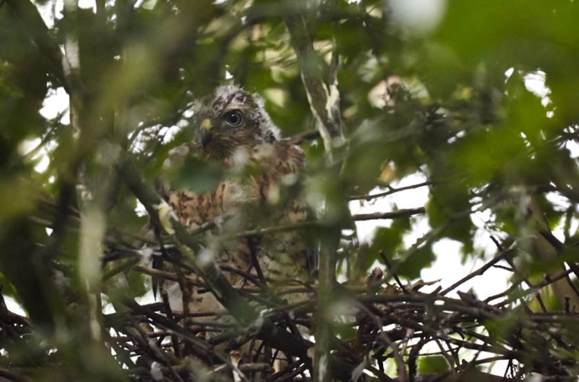 Sparrow Hawk fledgling in nest in woods