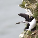 Razorbill on cliff with wings open having landed