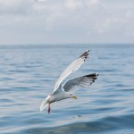 Herring Gull hovers above the sea