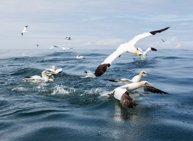 Gannet taking off at sea