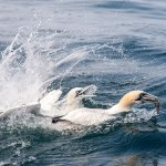Adult Gannet emerges with fish being chased by younger Gannet