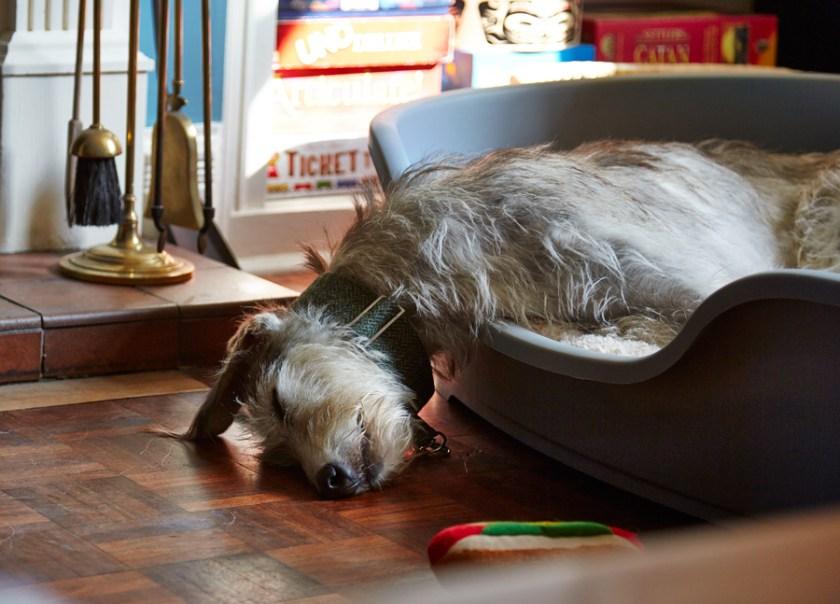 Pet dog Alfie asleep in his bed, dog sleeping