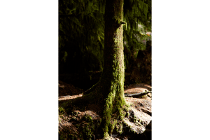 Tree at Cathedral Grove in Macmillan provincial park, Vancouver Island, BC, Canada