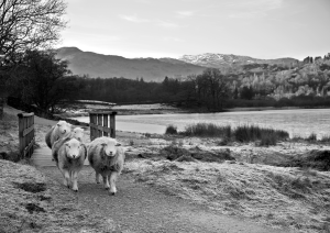 In Search of Greener Grass at Grasmere, Lake District