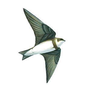 Sand Martin Illustration