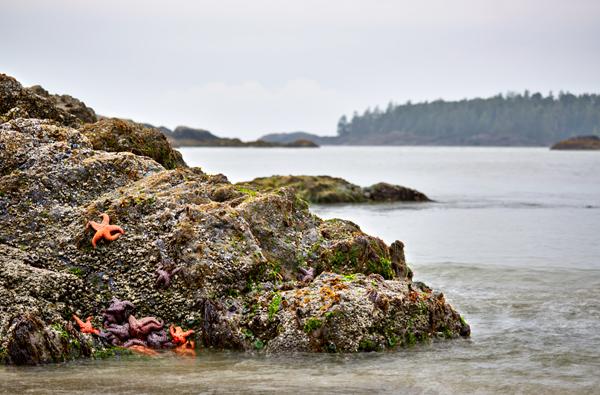 Starfish on rocks on beach, tofino, long beach