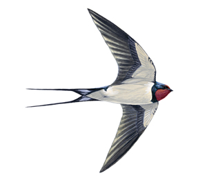 swallow illustration