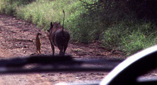 Real Timon and Pumbaa