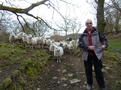 Very friendly sheep at the end of our Welsh Waterfalls Walk