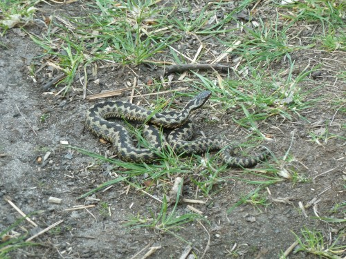 Adder Found In Dunwich Forest Suffolk April 2011