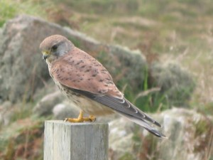 I think this is a Kestrel spotted on our Land's End Walking Route