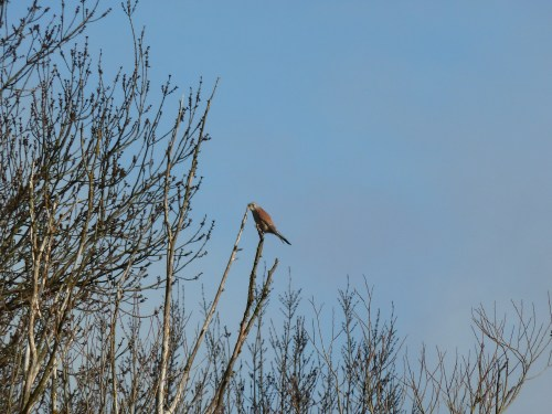 Walks And Walking - Essex Walks Epping Forest Abridge Walking Route - Red Kite