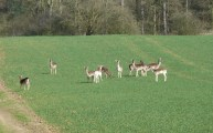 Walks And Walking - Epping Forest Queen Boudicca Obelisk Walking Route - Close To Fallow Deers