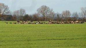 Walks And Walking - Essex Walks - Billericay to Chelmsford Walking Route - Deer at High Woods 2