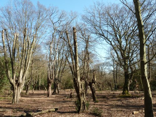 Walks And Walking - Essex Walks Epping Forest Favourite Family Walking Route - Tree Pollarding