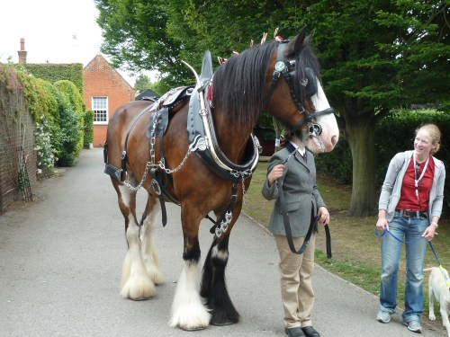 Hertfordshire Heavy Horse Show June 2011 at Capel Manor College Brown Shire Horse