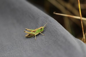Cricket on my walking trousers Canon EOS 100D Camera Epping Forest