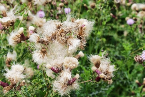 Walks And Walking - Epping Forest Bell Common Walking Route - Thistles