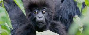 Craghoppers and the Dian Fossey Gorilla Fund - HOPE Video - Gorilla Baby