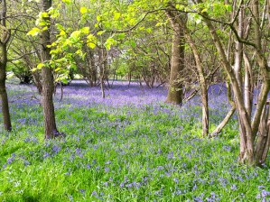 Walks And Walking – Where to find Bluebells in Epping Forest - Forest Way Upshire - Rookery Wood