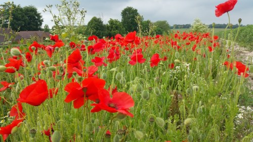 Walks And Walking - Barham Walk In Kent - Poppy Field