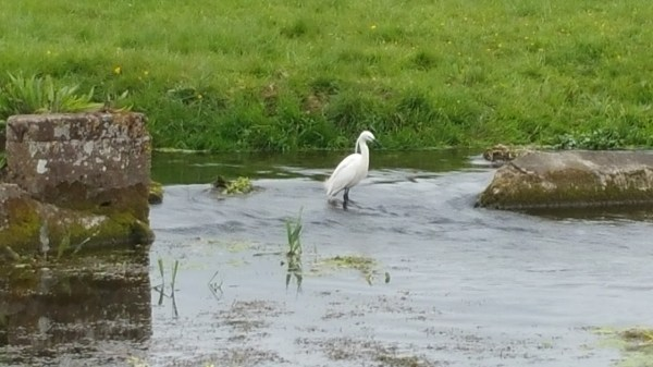 Walks And Walking - Bishopsbourne Walk In Kent - Little Egret at Bourne House