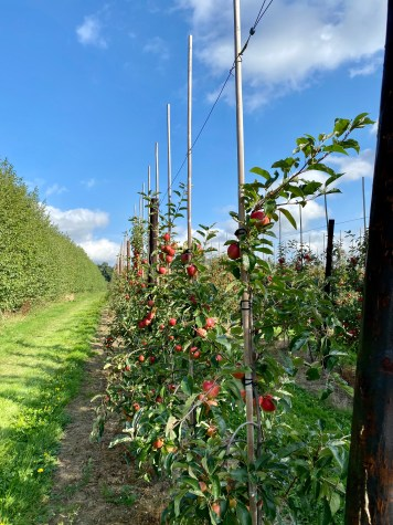 Apple orchard near Well Chapel Canterbury Kent
