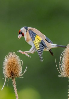 Goldfinch hopping from teasel to teasel by Mike Doyle