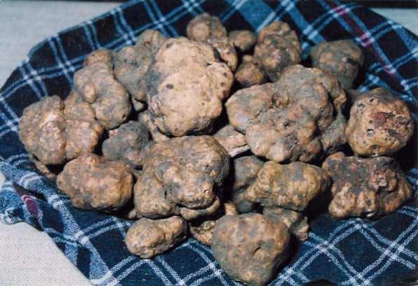 Tartufo, a favorite ingredient in Umbria