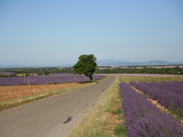 View of road with lavender fields during Walk the Arts art retreat in Provence South of France