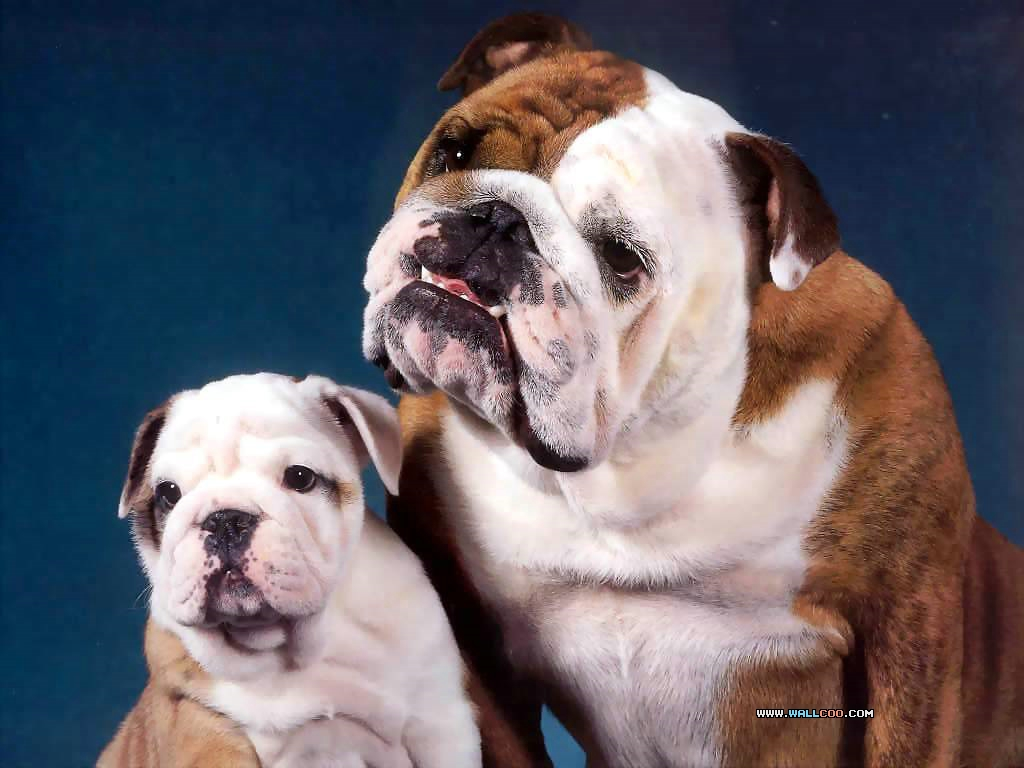 Amazing Wallpapers Hd 桌布天堂 斗牛犬 Bulldogs2