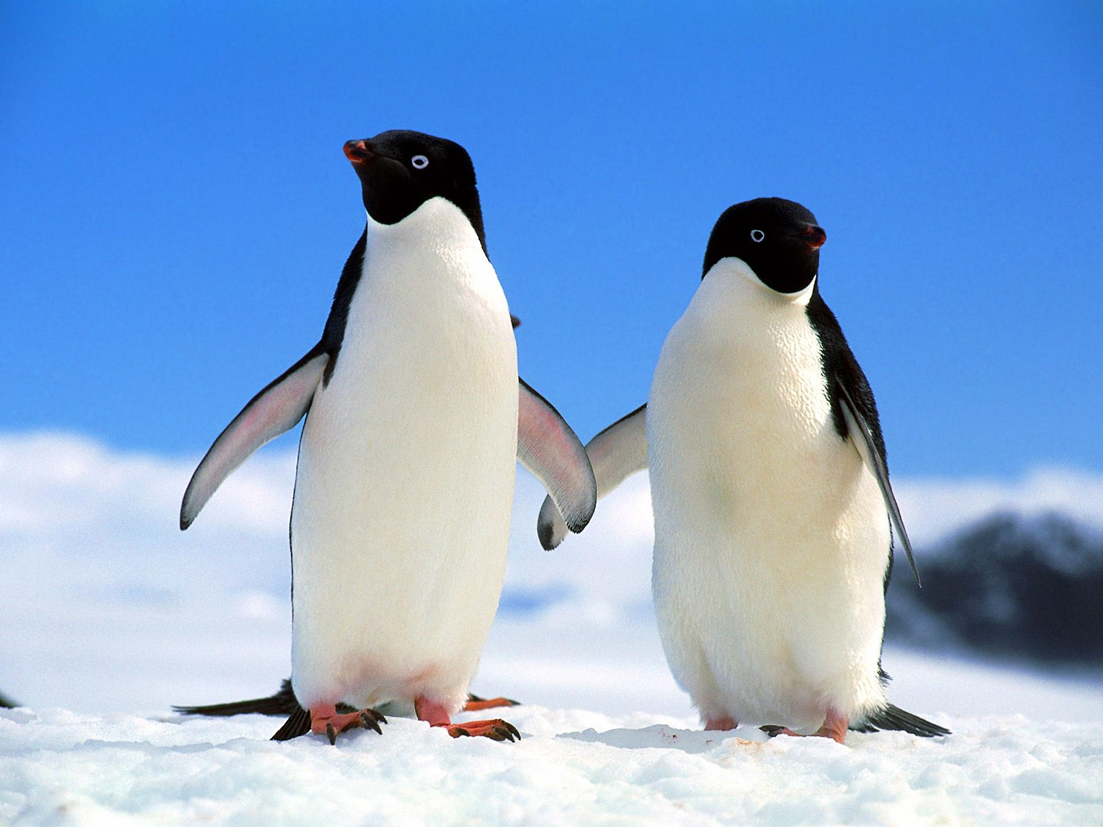 桌布天堂 --- 企鵝攝影桌布1600*1200 High resolution penguin wallpapers6