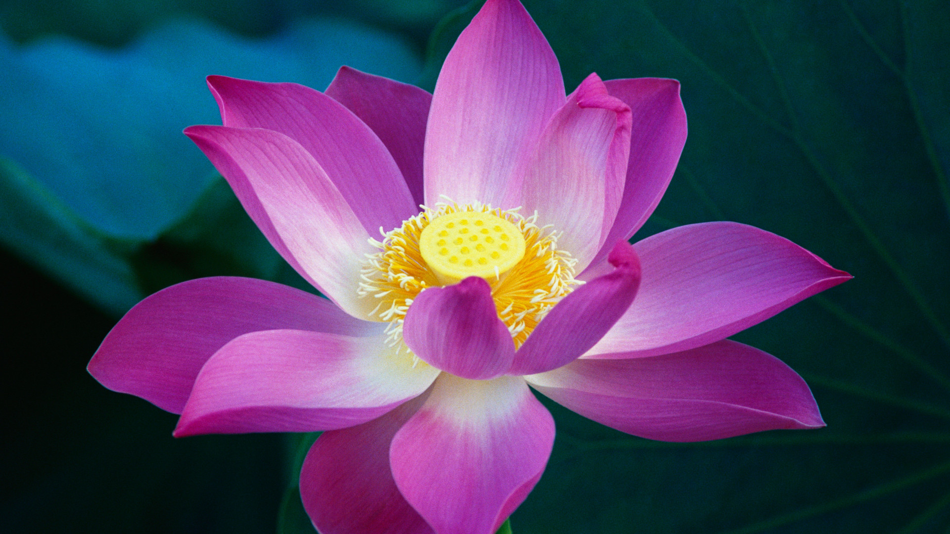 3d Pink Flower Wallpaper Pink Lotus Flower Apple Mac Osx Lion Wallpapers