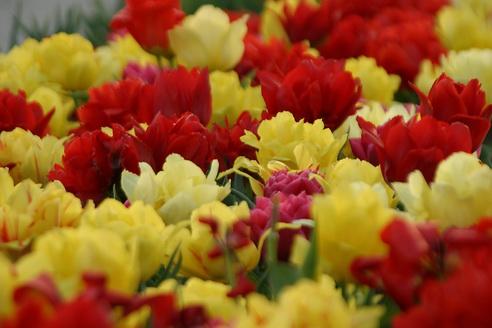 Tulips, Forest Park, Saint Louis, Missouri