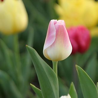 Tulip, Forest Park, Saint Louis, Missouri
