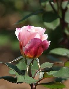 Rose, Shaw's Gardens, Saint Louis, Missouri