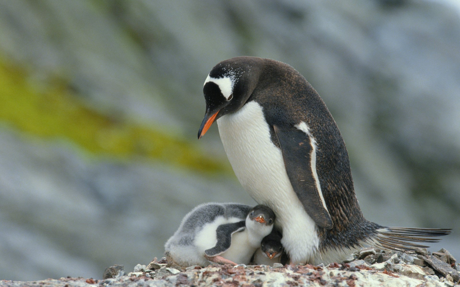 Cute Penguin Wallpaper Desktop Mother And Baby Animal Photography Wallpapers