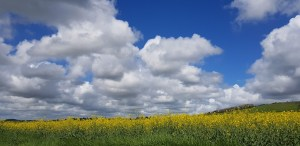 Blue skies fluffy clouds sulphurous yellow flowers at Wallops Wood cottages where accomodation is luxurious with hot tub and pool for website